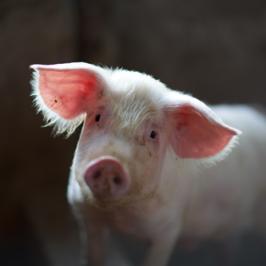 πως απαγορεύτηκαν τα γουρούνια στο Παρίσι